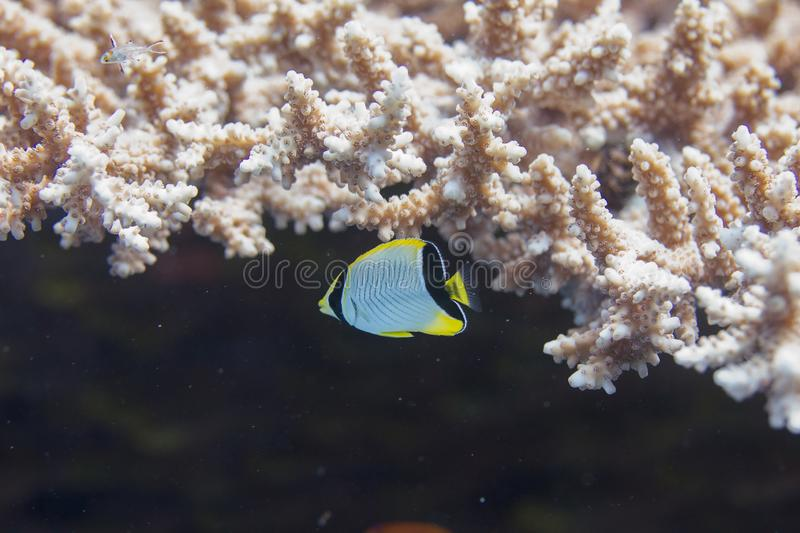 Juvenile Chevroned Butterflyfish and Lyretail Hogfish in Table Coral royalty free stock photo