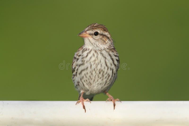 Juvenile Chipping Sparrow (Spizella passerina) royalty free stock image
