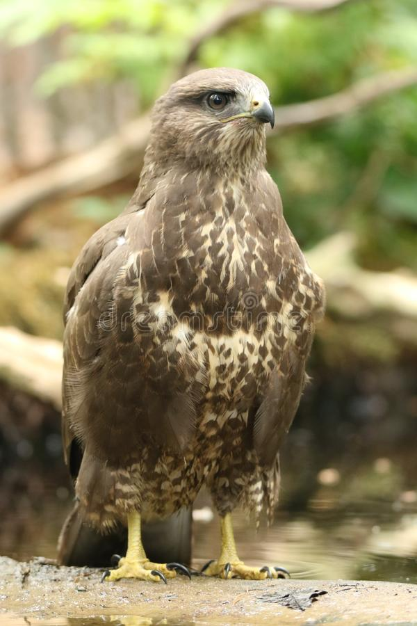 Ridiculously close portrait of a Common Buzzard royalty free stock photography