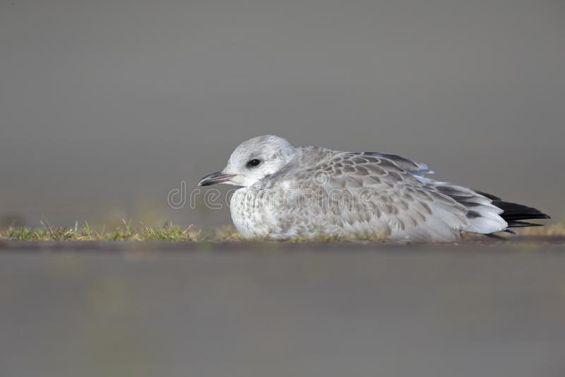 A juvenile common gull or Mew gull Larus canus laying on the ground resting in the ports of Bremen Germany. royalty free stock photography