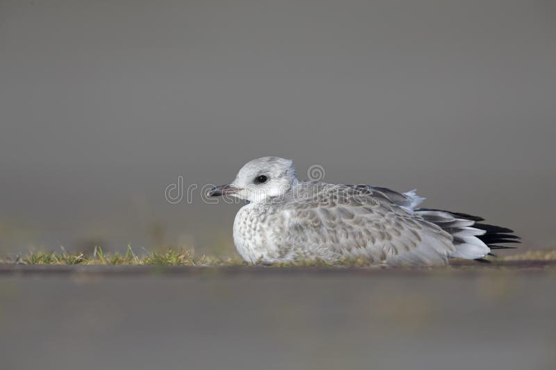 A juvenile common gull or Mew gull Larus canus laying on the ground resting in the ports of Bremen Germany. stock photo