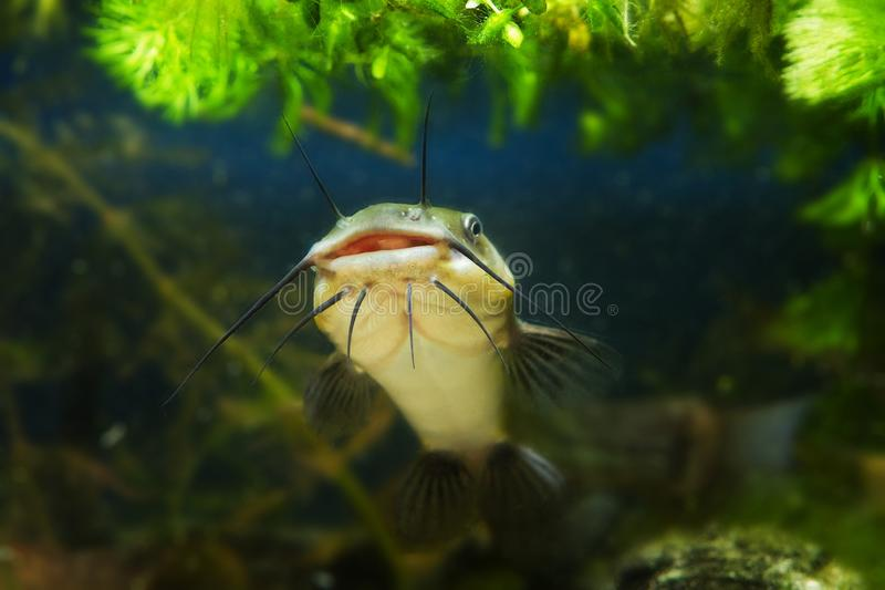 Juvenile cosmpolitan freshwater predator сhannel catfish, Ictalurus punctatus, floats in water near sand bottom in biotope aqua. Rium and shows its big mouth royalty free stock image