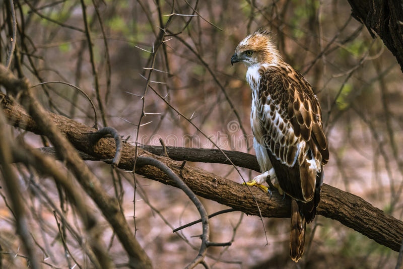 Juvenile Crested Hawk Eagle perched. On a branch at Gir Forest stock photography