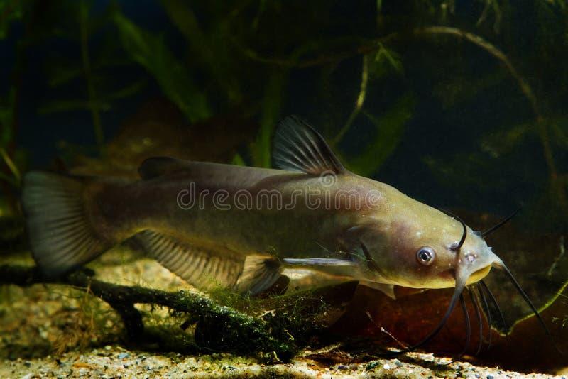 Juvenile dangerous freshwater predator channel catfish, Ictalurus punctatus in cold-water biotope fish aquarium. Full body view of a juvenile dangerous royalty free stock photo