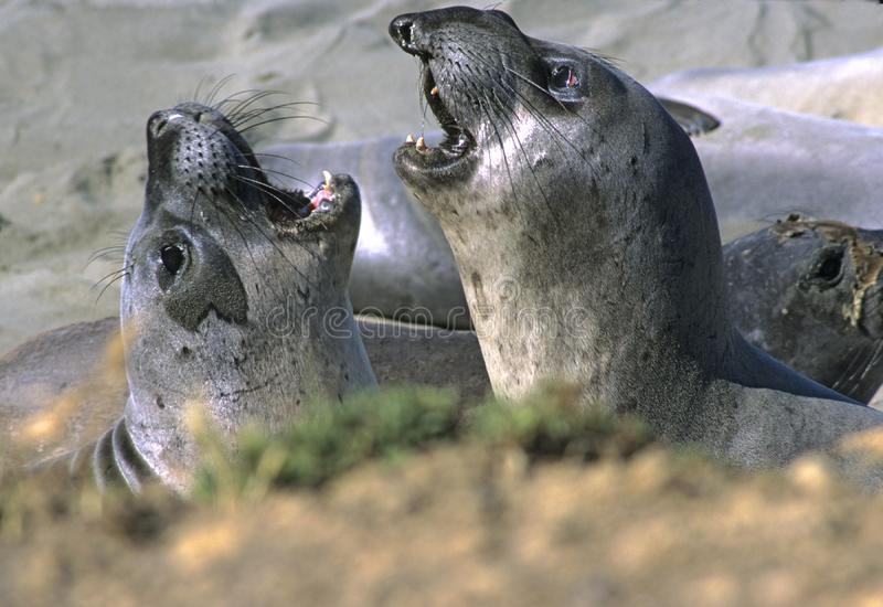 Download Juvenile Elephant Seals stock image. Image of piedras, young - 61827