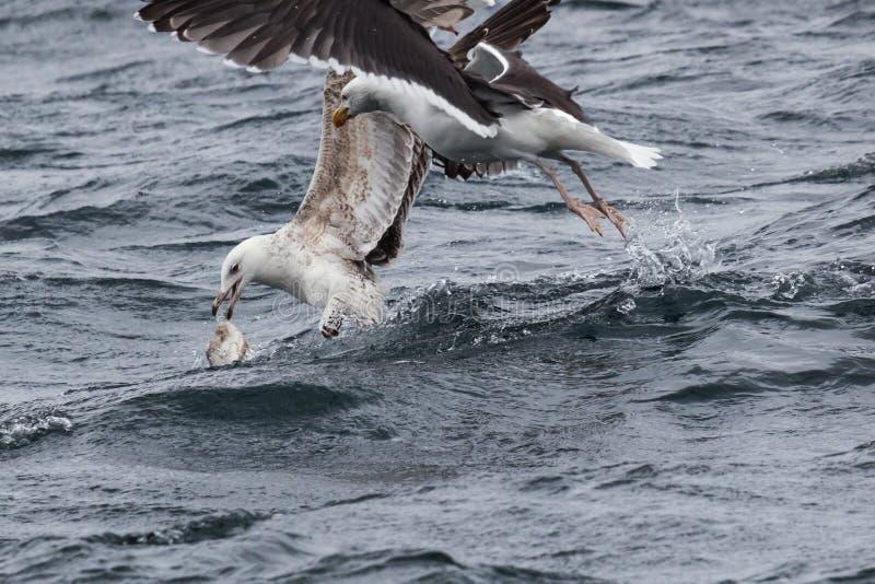 Juvenile European herring gull loosing its catch stock photo