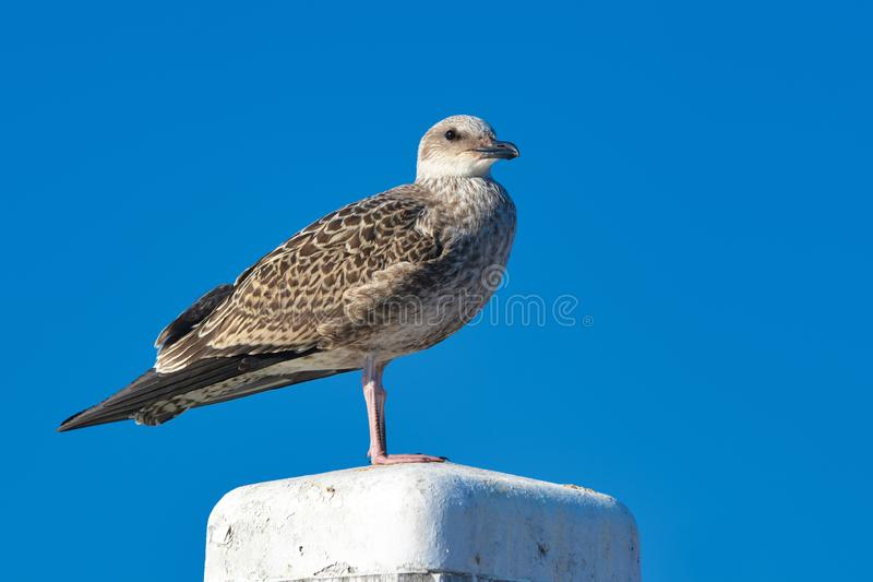 Juvenile European `Larus Argentatus` herring gull standing on white wooden pole in front of blue sky. Background stock images
