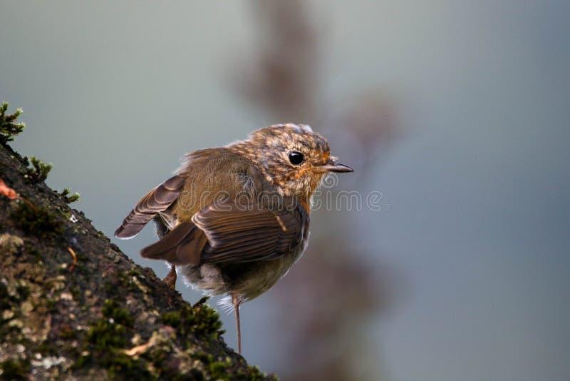 Juvenile European robin bird - Erithacus rubecula royalty free stock image