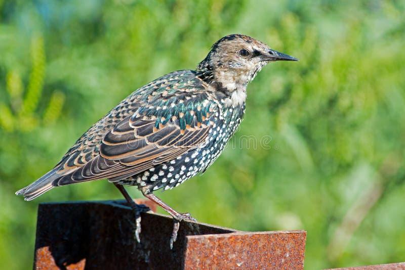 Juvenile European Starling stock photography