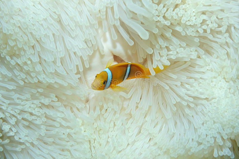 Juvenile fish orange-fin anemonefish. A juvenile tropical fish orange-fin anemonefish, Amphiprion chrysopterus, in anemone tentacles, Pacific ocean, French royalty free stock photos