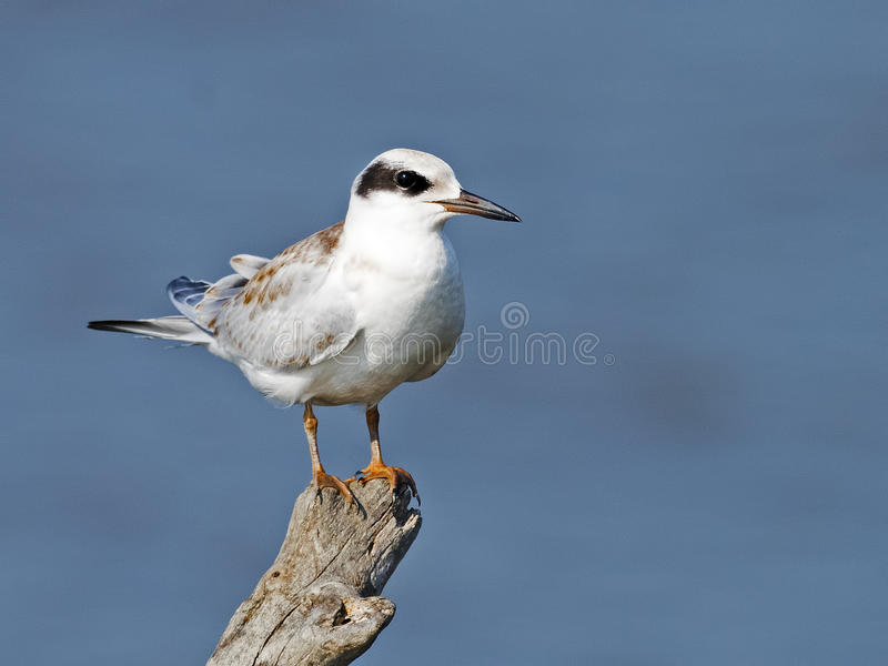 Juvenile Forster's Tern royalty free stock photos
