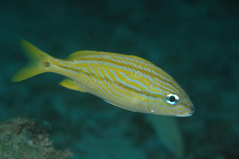 Juvenile French Grunt-Haemulon flavolineatum. Picture taken in south east Florida stock images