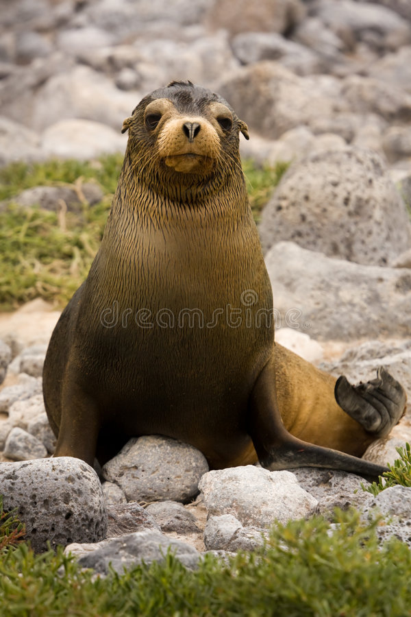 Free Juvenile Galapagos Sea Lion (Zalophus Wollebaeki) Royalty Free Stock Photos - 8484268