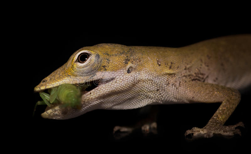 Juvenile gecko eating a small grasshopper stock images