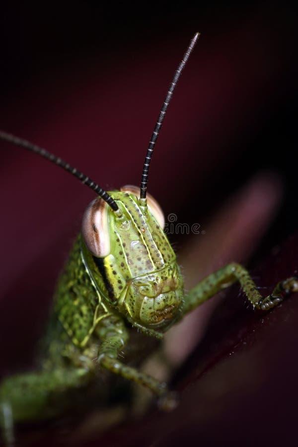 Juvenile Grasshopper stock image