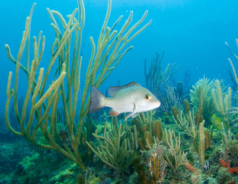 Juvenile Gray Snapper-Lutjanus griseus. In a stand of soft coral stock photo