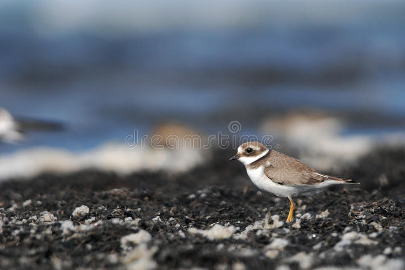 Greater Ringed Plover. Juvenile Greater Ringed Plover and seafoam stock images