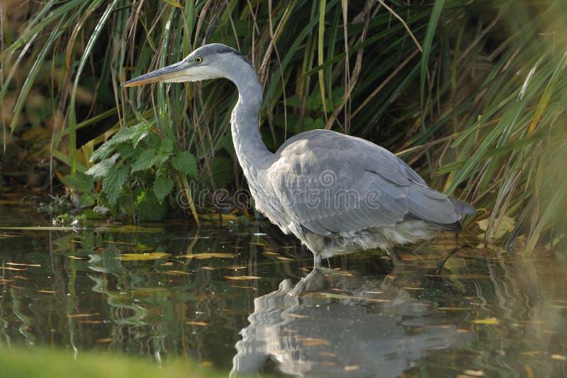Download Juvenile Grey Heron stock photo. Image of alert, british - 17128566