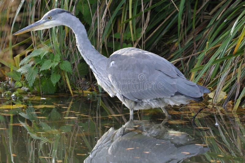 Download Juvenile Grey Heron Royalty Free Stock Photos - Image: 17372338