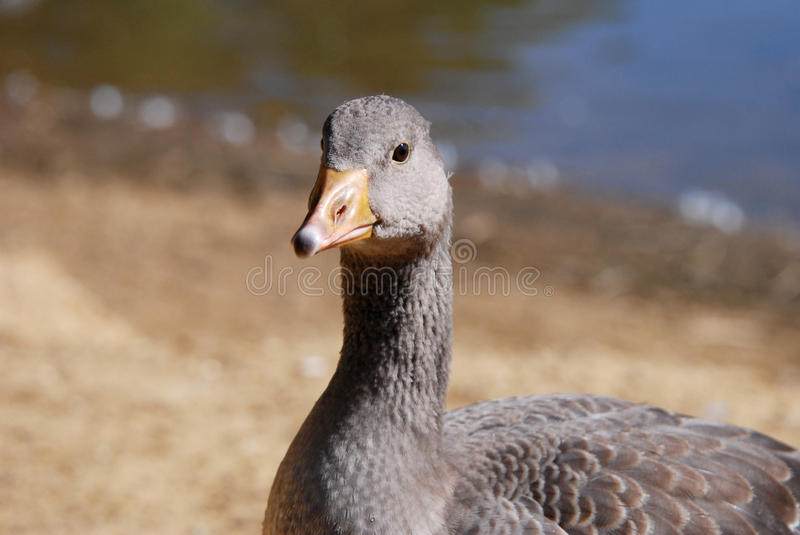 Juvenile greylag goose by the water. Young greylag goose by the water stock photography