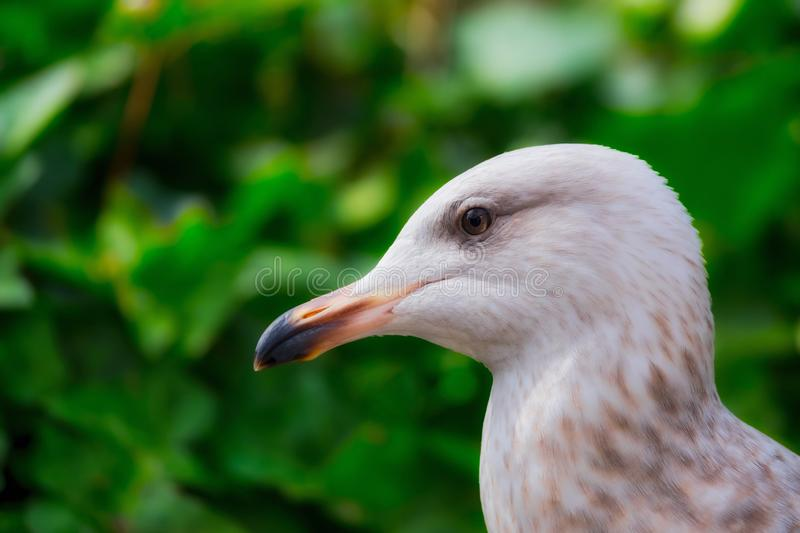 Juvenile Herring gull portrait closeup. Headshot looking right to left royalty free stock photos