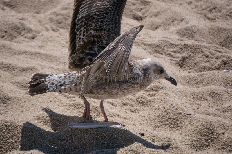 Juvenile Herring Gull / Seagull / Larus argentatus has his foot impaled on a discarded fishing hook royalty free stock photography