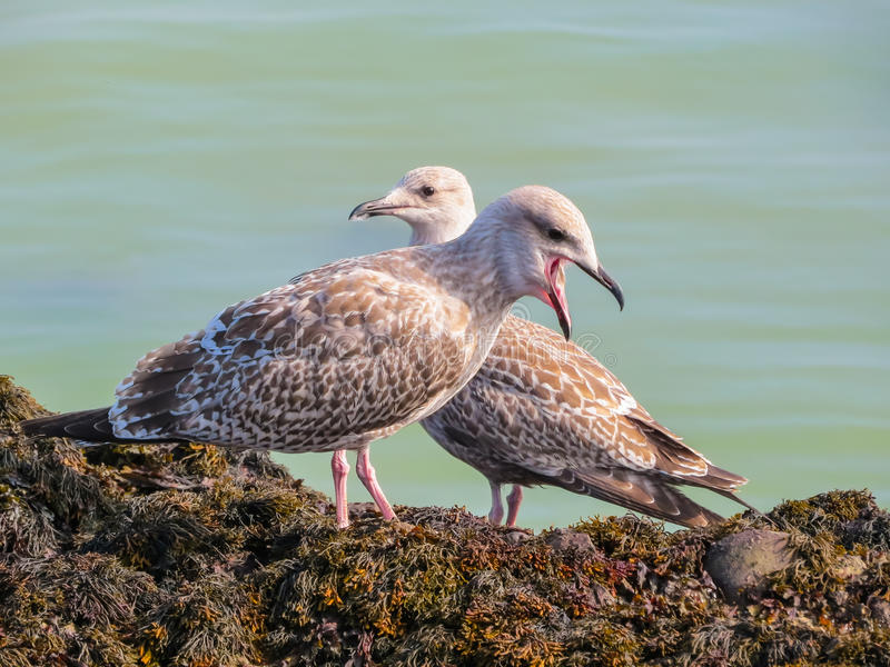 Juvenile herring gulls on rocks of the Jersey Island royalty free stock photo
