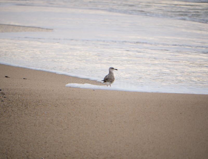 Juvenile Herring Gulls / Seagull / Larus argentatus standing on the beach at the shoreline stock photos