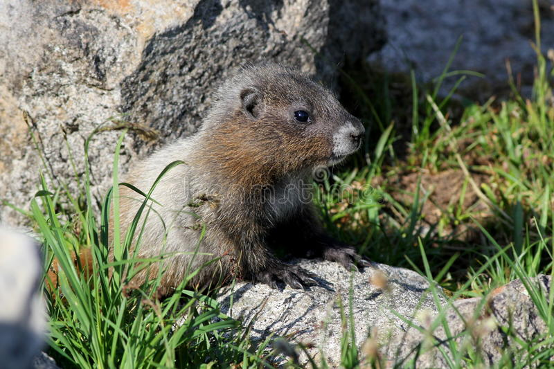 Juvenile Hoary Marmot. A Juvenile Hoary Marmot in Mount Rainier National Park royalty free stock images
