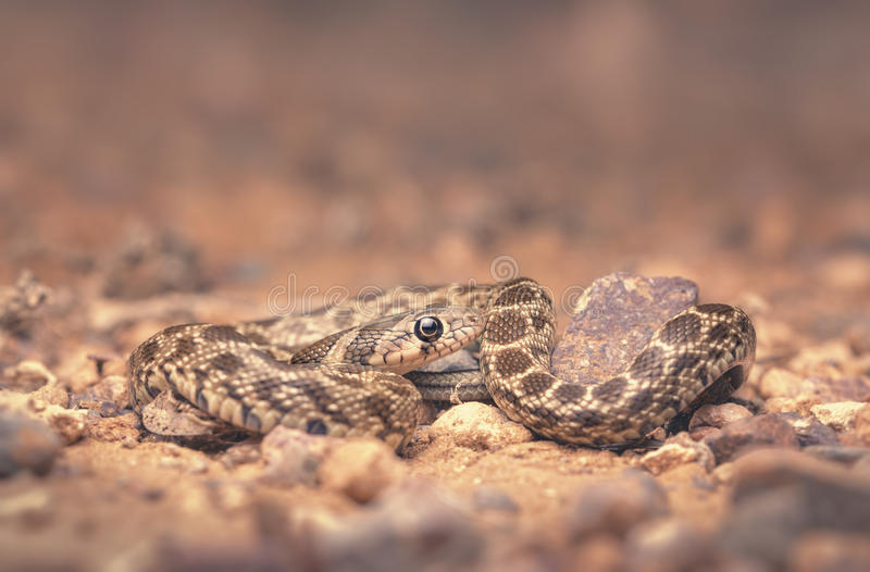 Juvenile horseshoe whipsnake (Hemorrhois hippocrepis) macro at night. A beautifully patterned young horseshoe whipsnake blends in well among the rocky substrate stock photos