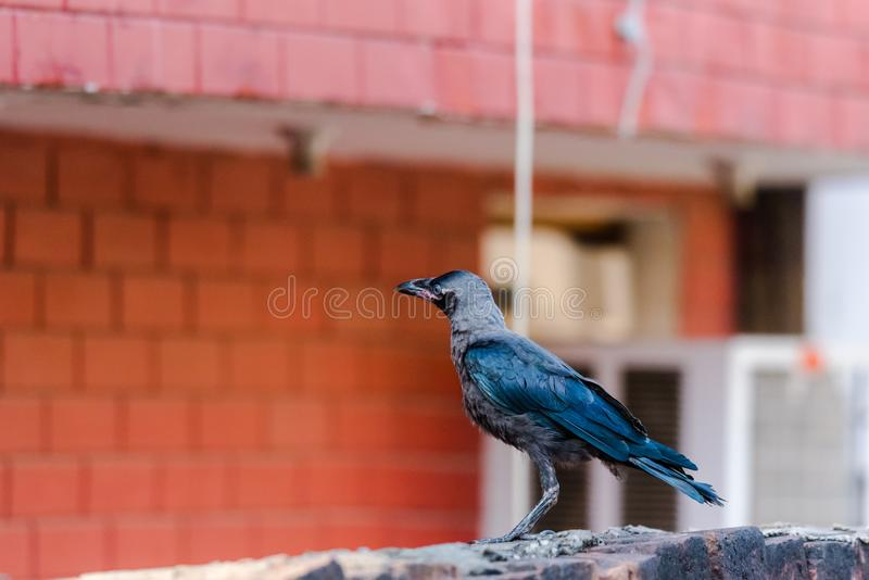 Juvenile house crow at first day. Of flight. A crucial part of life and death stock photos