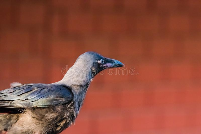 Juvenile house crow at first day. Of flight. A crucial part of life and death royalty free stock photography
