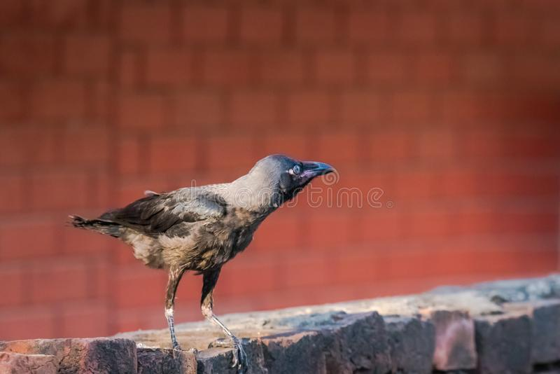 Juvenile house crow at first day. Of flight. A crucial part of life and death stock images