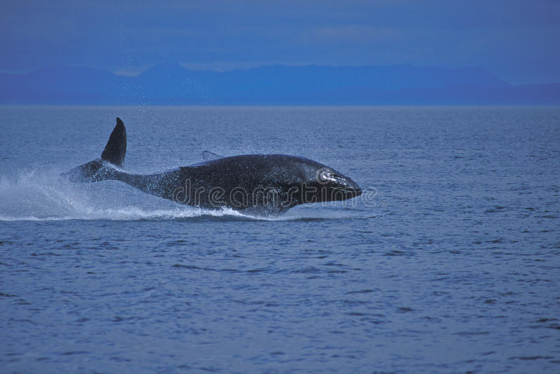 Juvenile Humpback Whale. A juvenile humpback whale is breaching the water with the coast in the background stock images