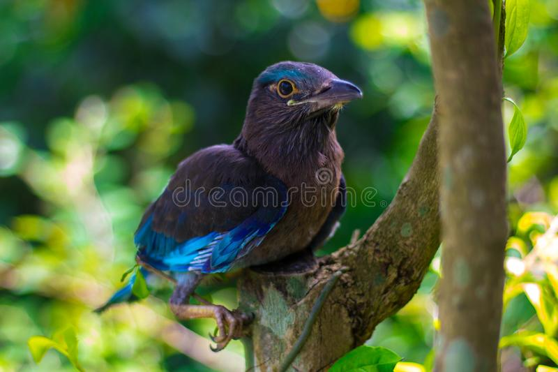 Juvenile Indo Chinease. Black Billed aka Indo-chinese roller & x28;C. AFFINIS& x29 royalty free stock photography