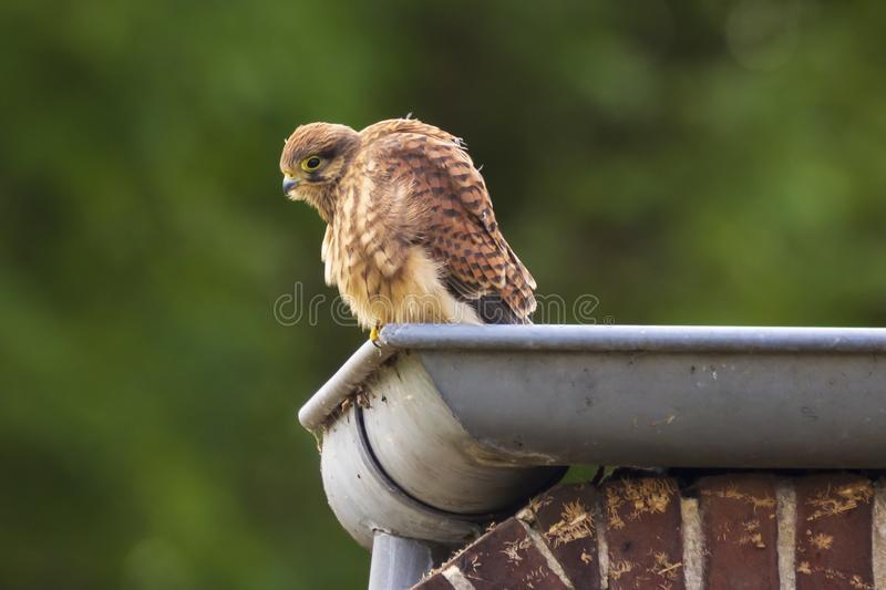 Juvenile Kestrel falco tinnunculus closeup. Closeup portrait of a female Common Kestrel falco tinnunculus resting and preening in a roof gutter of a house royalty free stock images