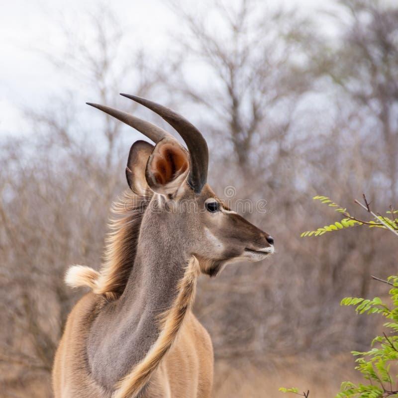 Juvenile Kudu Bull royalty free stock photo