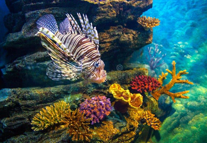 Juvenile Lionfish stock image