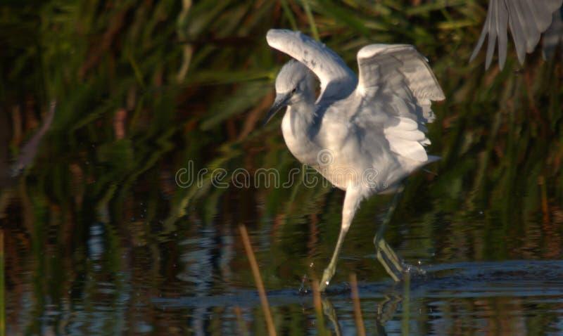 Juvenile Little Blue Heron royalty free stock images