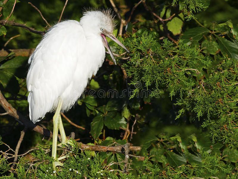 Juvenile Little Blue Heron standing in a Tree stock photos