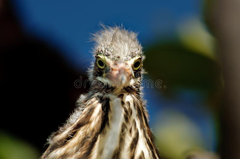 Juvenile little green heron in the mangroves. Juvenile little green heron raising its head out of the nest in the mangroves in Florida stock images