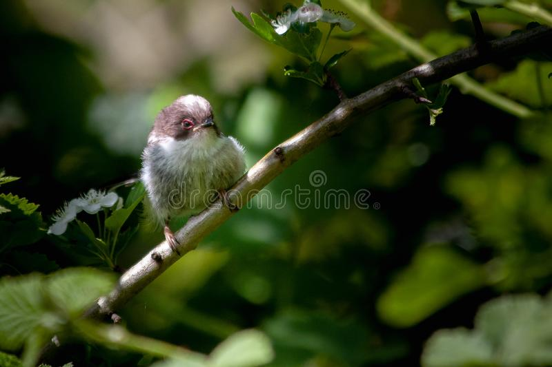 Juvenile long tailed tit resting on tree branch with soft focus background stock images