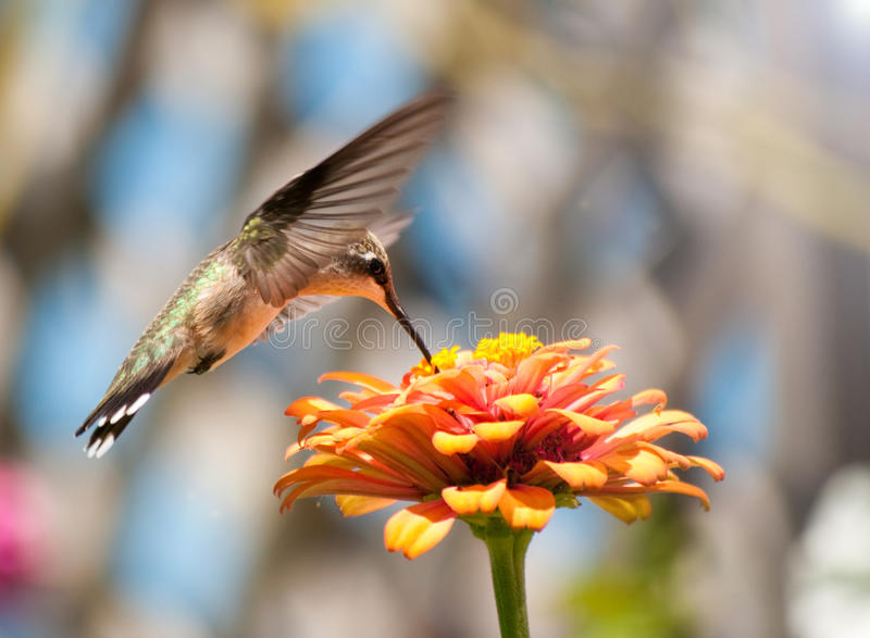 Juvenile male Hummingbird feeding royalty free stock photo