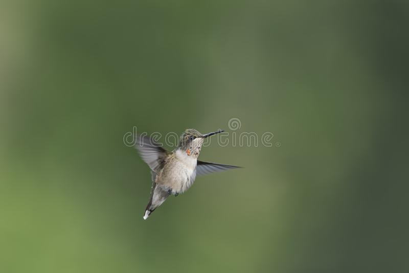 Juvenile male Hummingbird with new rubies on his gorget. Juvenile male Ruby-throated hummingbird, Archilocus colubris, in flight. He is fluffy and flying showing stock photography