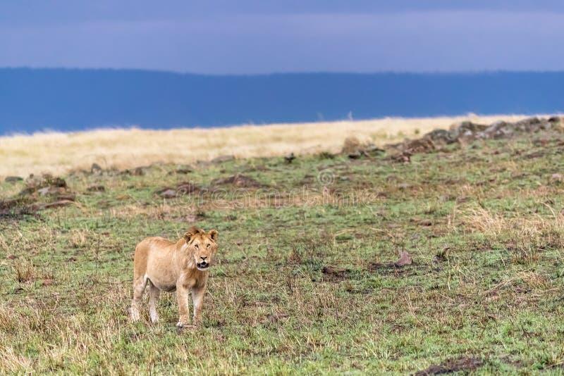 Juvenile male lion in evening light. Masi Mara, Kenya stock photography