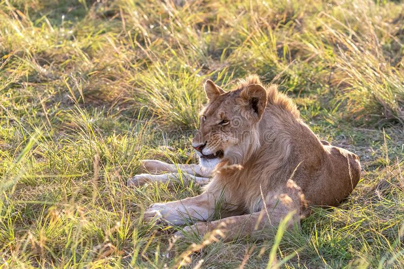 Juvenile male lion in late afternoon sunshine stock image