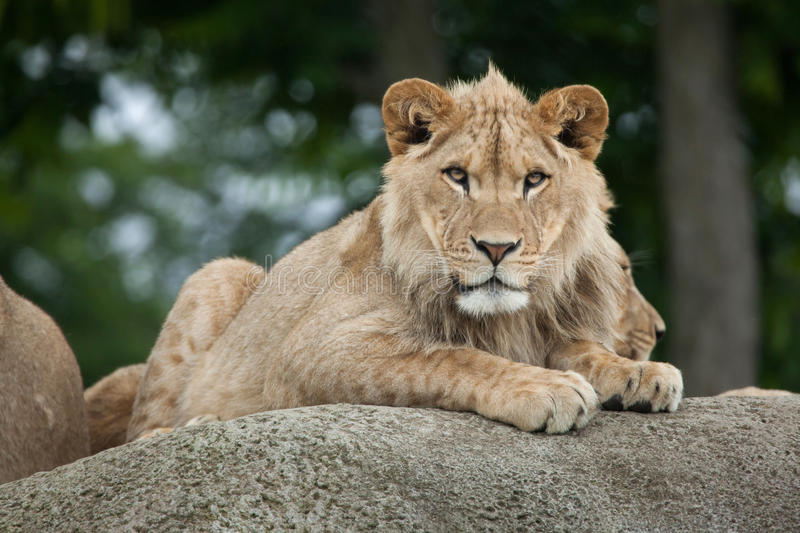 Juvenile male lion (Panthera leo). stock photo