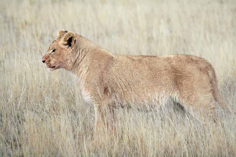 Juvenile male lion royalty free stock photos