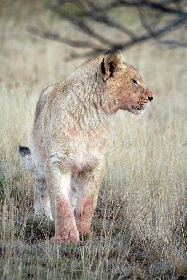 Juvenile male lion royalty free stock photography