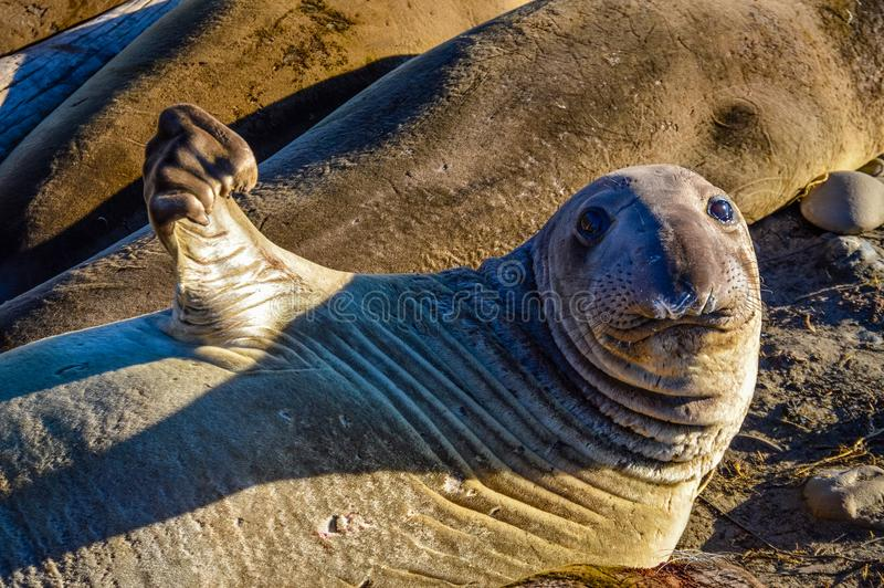 Juvenile Northern Elephant Seal. A juvenile male northern elephant seal flexes a flipper on a beach in San Simeon, California. Photo taken during pupping season royalty free stock photography